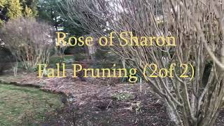 Rose Of Sharon Fall Pruning (2 Of 2) Tim Arnzen