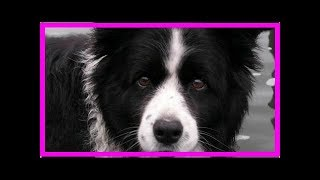 How to look after a border collie