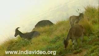 Nilgiri Tahrs at Eravikulam National Park