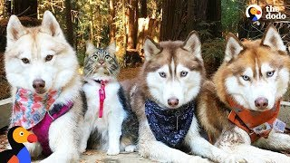 Cat Leads Her Pack Of Husky Dogs | The Dodo