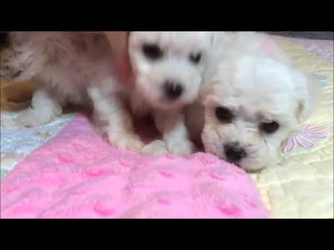 Bichon Frise female puppy for sale