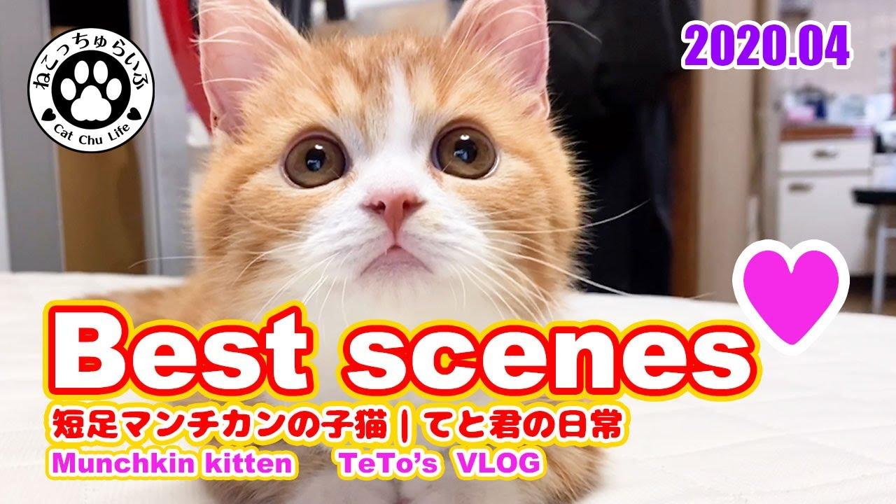 2020年4月のBest movies of kitten 【短足マンチカンの子猫 てとの日常 癒し動画】 喵星人4月搞笑镜头集锦