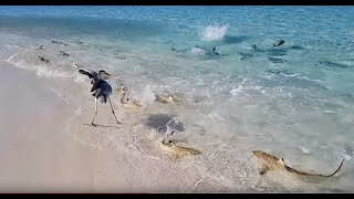 Dozens of Blacktip Reef Sharks Join Feeding Frenzy in The Maldives