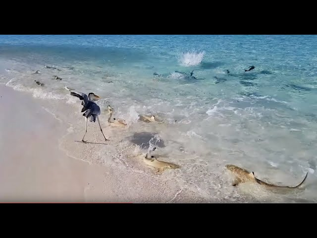Shark Attack in Maldives Vacation! Best House Reef for Snorkeling 2017!