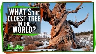 What's The Oldest Tree in the World? - Video Youtube