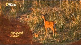 Хищники Джунглей - Тайны дикой природы Индии