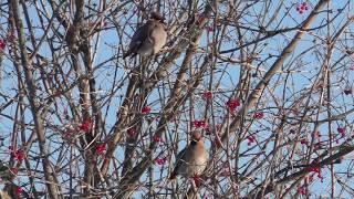 Наблюдение за птицами. Свиристели на калине