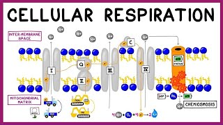 Cellular Respiration: Glycolysis, Krebs Cycle & the Electron Transport Chain