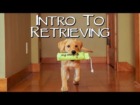 Labrador Retriever Teach Your Puppy To Fetch - Gun Dog Training ...