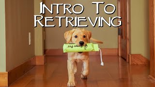 Labrador Retriever Teach Your Puppy To Fetch - Gun Dog Training