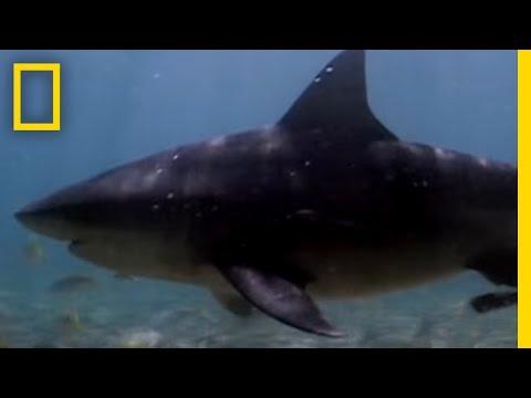 Shark Attack: Bull Sharks Upriver [Video] • Insteading