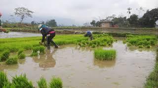 farmer co nong dan nho ma cho chuyen cung anh lai may bua schokomg