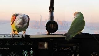 Parrots Flying Over New York City