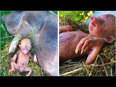 Domuzun İnsana Benzer Bir Yavru Doğurduğu İddia Edilen Olayın Aslına Çok Şaşıracaksınız!