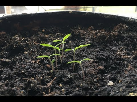 Il modo piu facile di germinare un Pomodoro da Supermercato in 8 giorni