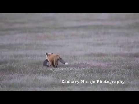 Нападение орла на лису с добычей в зубах