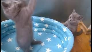 Мальчики голубого окраса! Британские котята из питомника. Элитные британцы.