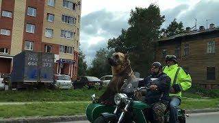 Живой, настоящий медведь на мотоцикле. Архангельск.