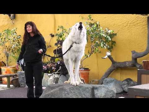 This Arctic Wolf howling