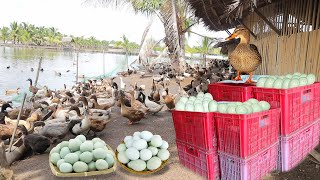 INSIDE THE MOST SUCCESSFUL DUCK FARM & CHICKEN LAYER POULTRY │ Farming│