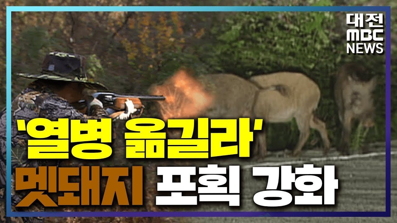 [리포트]'열병 옮길라' 야생멧돼지 포획 안간힘