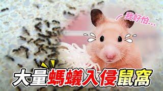 【維鼠日記】大量螞蟻入侵鼠窩!實測驅蟻筆功效?【維特】#56