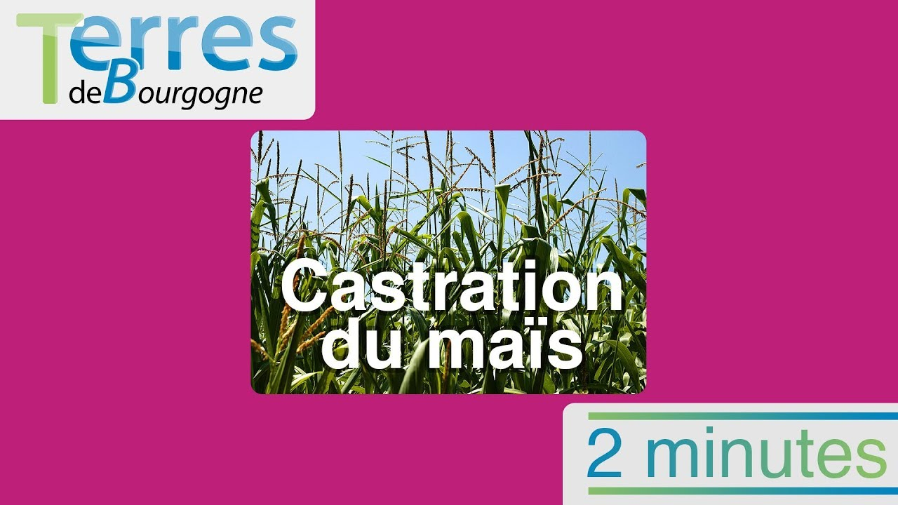 Comprendre la castration du maïs en  minutes