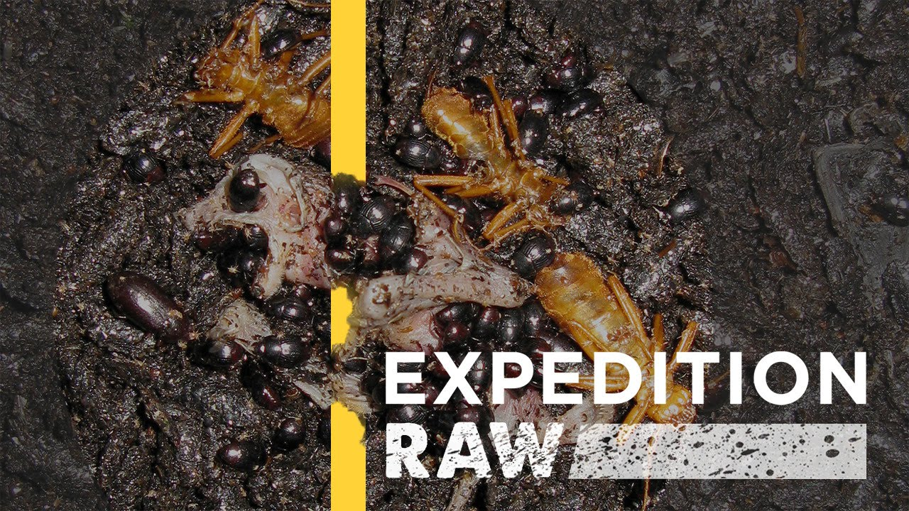 WATCH: Billions of Bugs Feast on Flesh and Dung in Borneo | Expedition Raw thumbnail