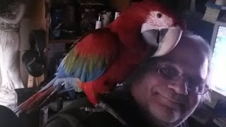 2 Year old Greenwing Macaw, Wolfie 'What The Fuck'