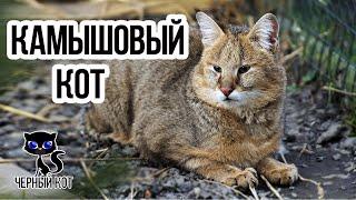 Кот рыболов среда обитания