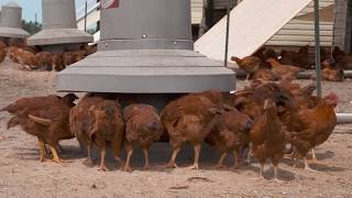 The difference between pastured and industrial chickens
