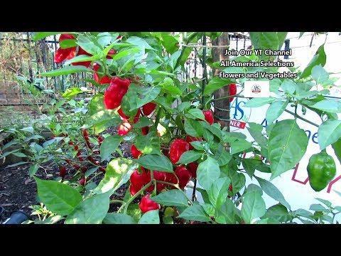 , title : 'The 'Roulette Habanero' Pepper - No Heat, Prolific, Great Citrus Flavor: Flower & Vegetable Profiles