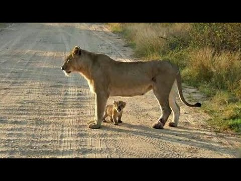Vidio LUAR BIASA..!! Perjuangan anak singa yang cacat...