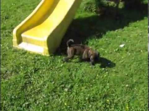 Dreamfield Mastiffs-Family raised brindle-SOLD