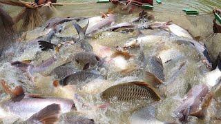 Fish Video   Big Net Fishing   1.5 Tons Big Fish