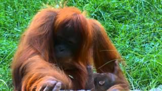 Zoo - Budapesti Állatkert * orangutan + baby # Panasonic FZ-1000 4K UHD