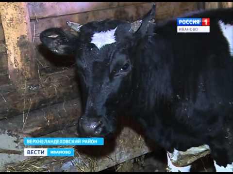 Корова в подарок Сюжет от 27.04.2016