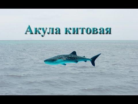 Русская Рыбалка 3.99 Акула китовая