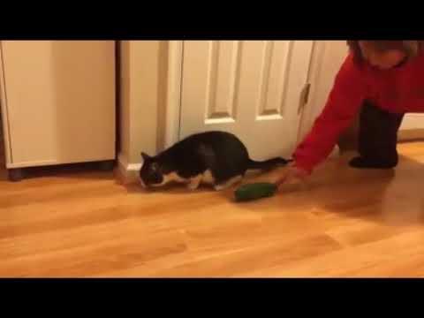 Anteprima Video Perchè i gatti hanno paura dei cetrioli?