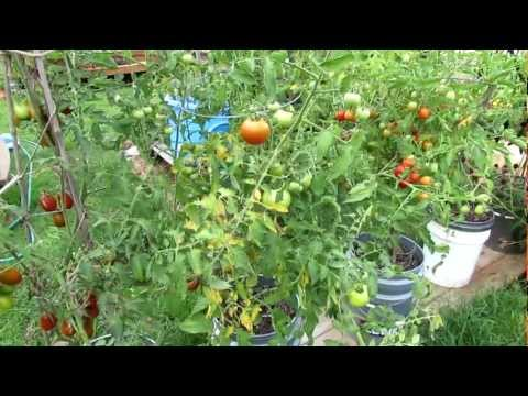 Video How to Treat Tomato Leaf Diseases: Pick and Spray