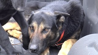 MY SHEPHERD KILLING MY NEIGHBOR'S CAT....CAN DOGS FEEL REMORSE OR SORROW?