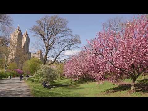 Central Park: Cherry Trees Tour