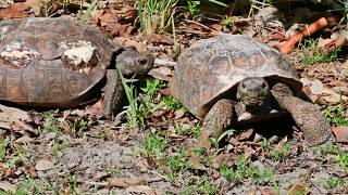 Endangered gopher tortoises in Naples, Florida