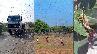 Adilabad On Alert As Locusts : దూసుకొస్తున్న మిడతల దండు - Sakshi TV