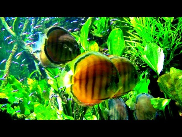 Cardinal Tetra and Discus fish