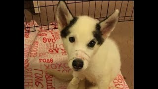 This Husky Was Horrifically Abused By Two Marines, But His Heartbreaking Story Didn't End There.