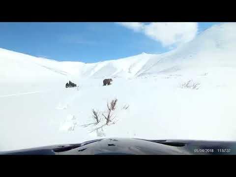 Рыбаки на снегоходах гоняли медведя и чуть не поплатились