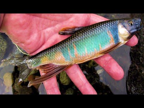 "[HD] Pale Chub Fly Fishing. ""Flyfisher's eyes. No.36"""