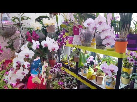Жить надо КРАСИВО! )) Phal.(javanica x bear king), Bulb.fascinator.. цветение орхидей в конце зимы!