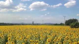 preview picture of video 'Sunflower Field - Saraburi, Thailand'